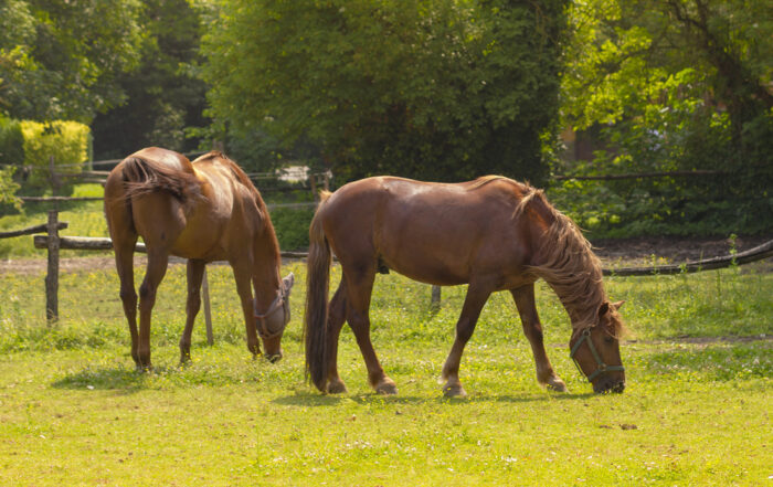 Chasteberry Benefits for Horses